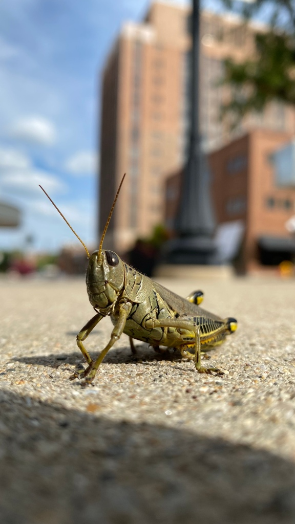 Close up of a large grashopper on the sidewalk with old buildings out of focus in the background